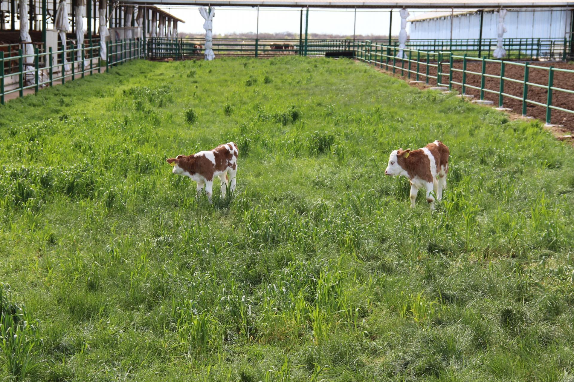 Herkül Çiftliği: Günlük Taze Doğal Süt | Simental İnek Sütü